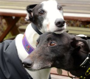 Two hounds touching heads