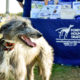 Dog at Forever Hounds Trust stall