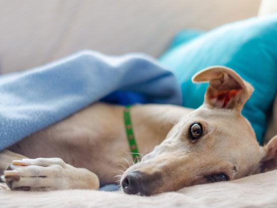 Hound under a blanket