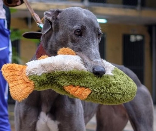Libby, a greyhound rescued from the Macau Canidrome in China with her toy while she was still in Macau