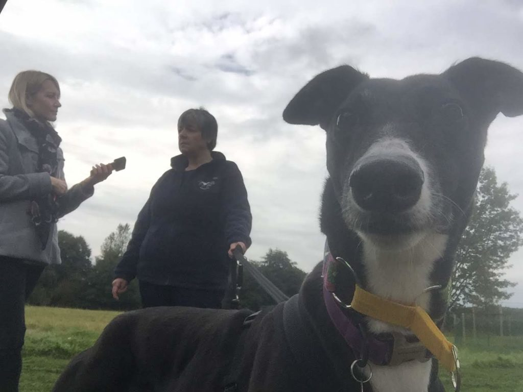 greyhound close to camera with radio interview happening in background