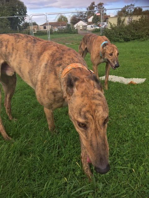 Greyhound brothers, Hovis and Bixie.