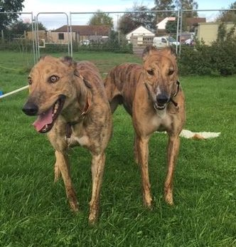 Greyhound brothers, Hovis and Bixie explore their surroundings with Forever Hounds Trust