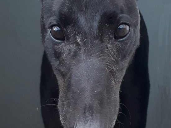 Monty, a black greyhound