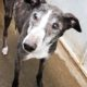 Lucas, an elderly greyhound in poor condition after having been found straying.