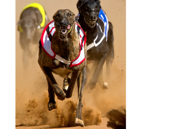 Three greyhounds racing