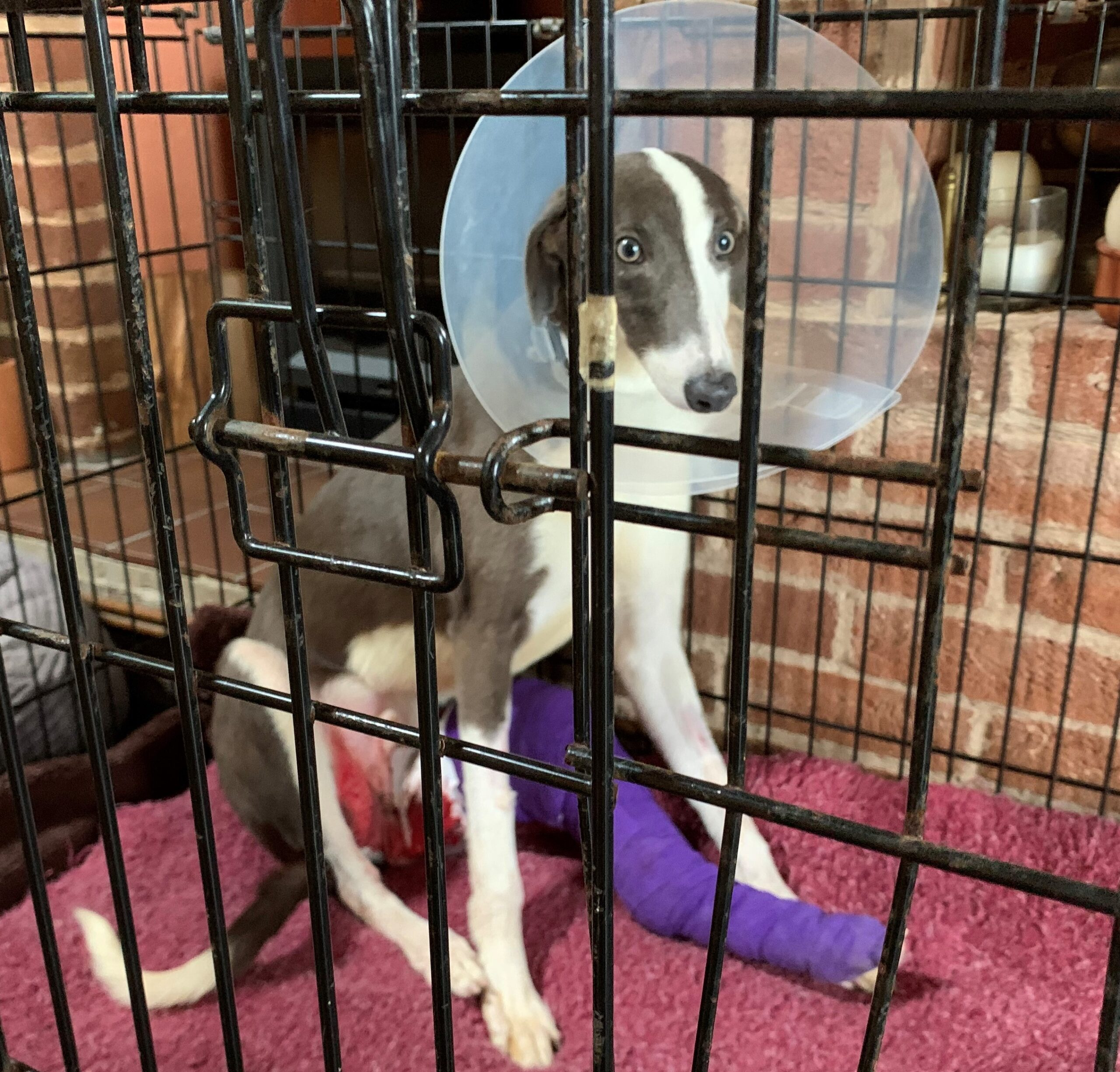 Blue and white lurcher puppy in a crate with a cone on and his leg in a purple plaster cast