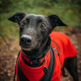 Black dog wearing red coat