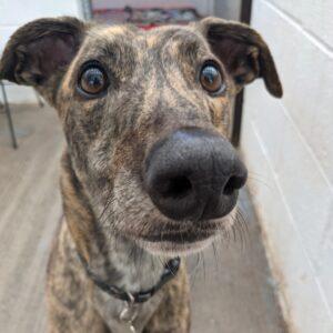 brindle greyhound face