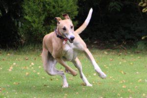 Frank the dog running