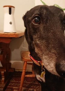 Dylan the Rescue Lurcher
