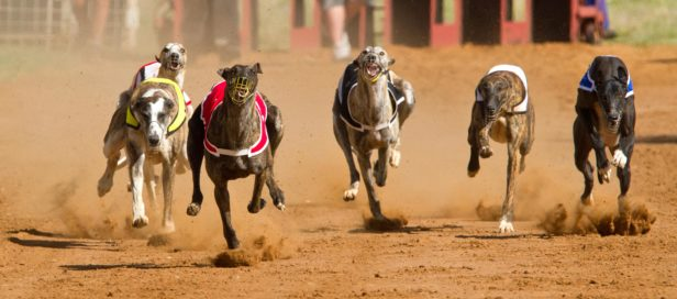 Greyhounds running for their lives